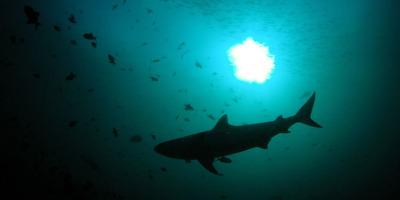 tiburon 2