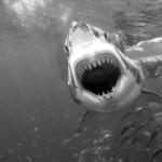 Julio Valdeón Blanco: ¡Tiburón!
