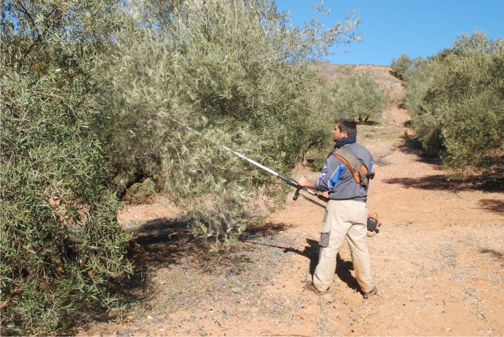 Jornalero vareando en un olivar tradicional cerca de Baños de la Encina - Fotografía de Pablo Mediavilla Costa