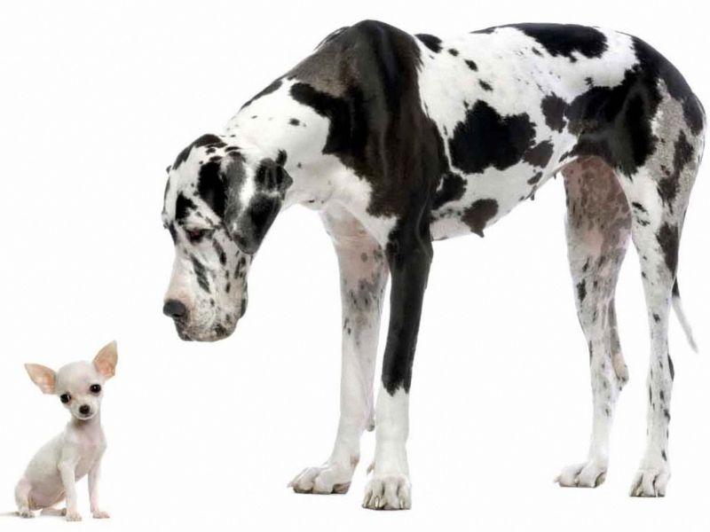 Chihuahua y Gran Danes