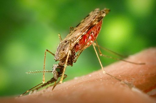 Mosquito anopheles