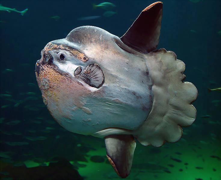 Pez luna, uno de los controladores de las proliferaciones del plancton gelatinoso (las medusas).