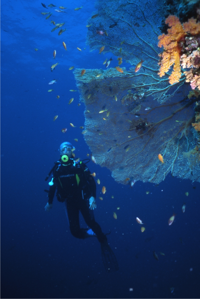 Esta gorgonia del Mar Rojo adopta la forma de abanico para retener el mayor número de partículas que las corrientes marinas llevan a los pólipos, pero, a su vez, dispone su estructura para captar la luz. (Foto: Sergio Rossi)