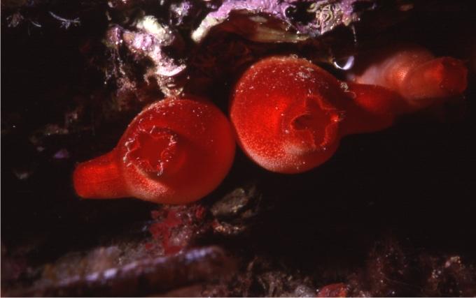 Otros componentes del bosque animal como estas ascidias no son menos importantes (Foto: Sergio Rossi).