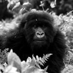Viviendo entre simios (II): Dian Fossey