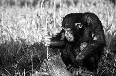 Chimpancé utilizando un tallo para extraer termitas de un hormiguero. Foto de DLILLC, Corbis.