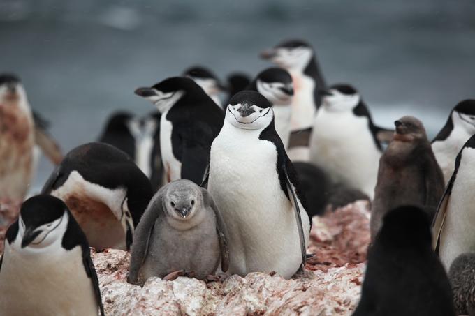 pingüino barbijo Liam Quinn CC