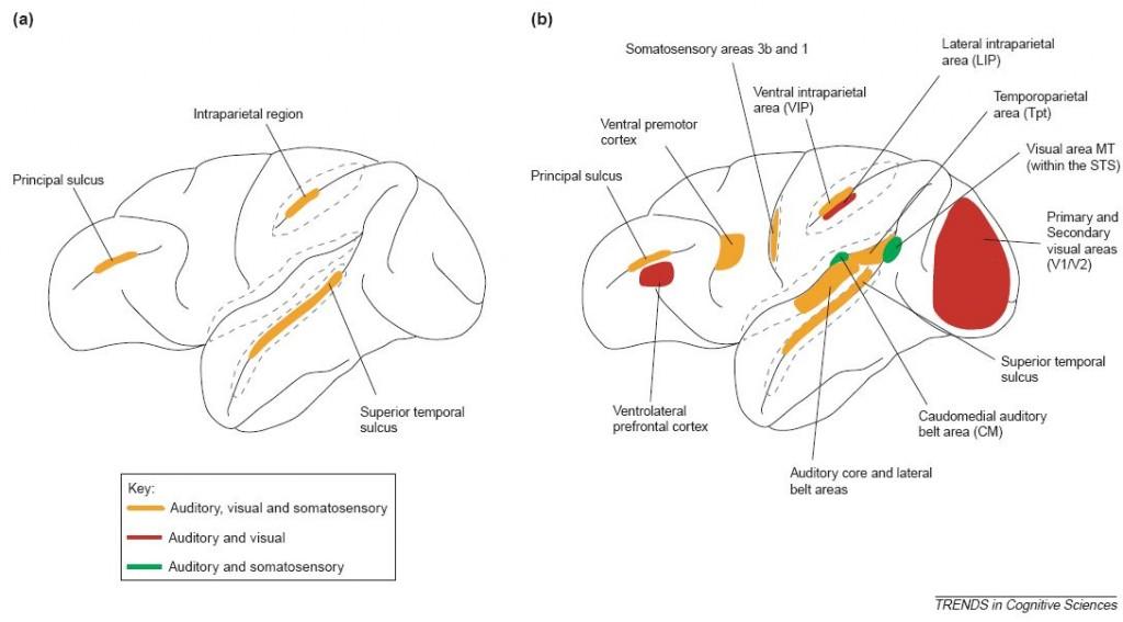 (a) Esquema tradicional de la anatomía cortical de las áreas multisensoriales en el cerebro de los primates. (b) Esquema moderno de la anatomía cortical de las áreas multisensoriales. Las áreas de colores representan regiones donde los datos anatómicos y/o electrofisiológicos demuestran interacciones multisensoriales. En V1 y V2, las interacciones multisensoriales parecen estar restringidas a la representación del campo visual periférico. Las líneas grises punteadas representan los surcos abiertos. Tomado de Ghazanfar, A. A. y  Schroeder, C. E. (2006).