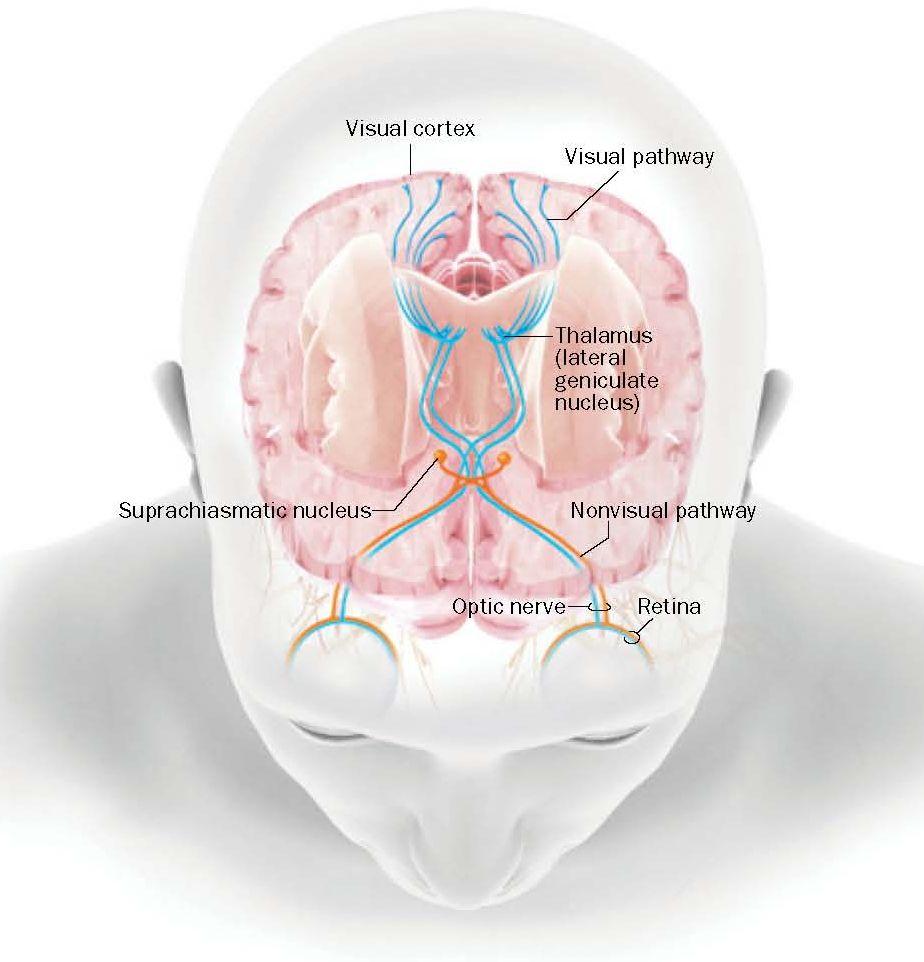 La retina envía señales por más de una vía en el cerebro. La mayor parte de la información viaja a través del tálamo a la corteza visual y luego a las regiones que llevan a cabo el procesamiento consciente. Sin embargo, algunos datos divergen en el centro motor y el núcleo supraquiasmático, el reloj biológico del cuerpo, lo que permite a ciertos individuos ciegos poseer una habilidad inconsciente para sortear obstáculos.