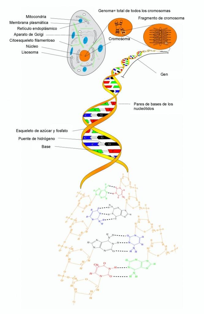Modelo esquemático de la doble hélice de ADN
