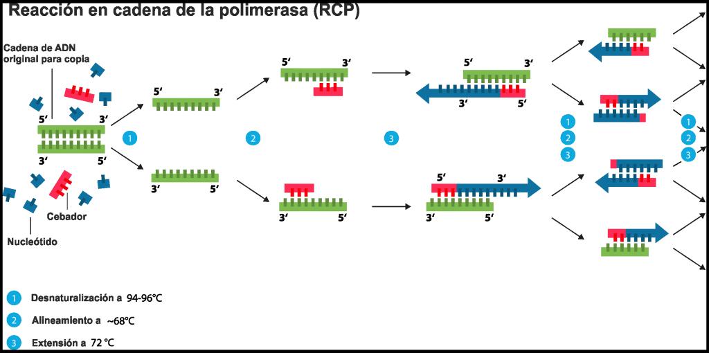 Esquema de funcionamiento de la PCR