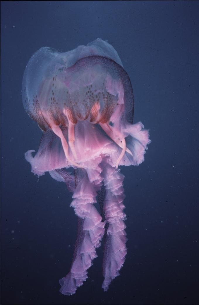 Medusa mordida, posiblemente por peces costeros. Foto: Sergio Rossi.