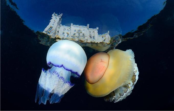 Dos medusas de muy distinto tipo de alimentación cerca de la costa. Foto Adriano Morettin (CC)