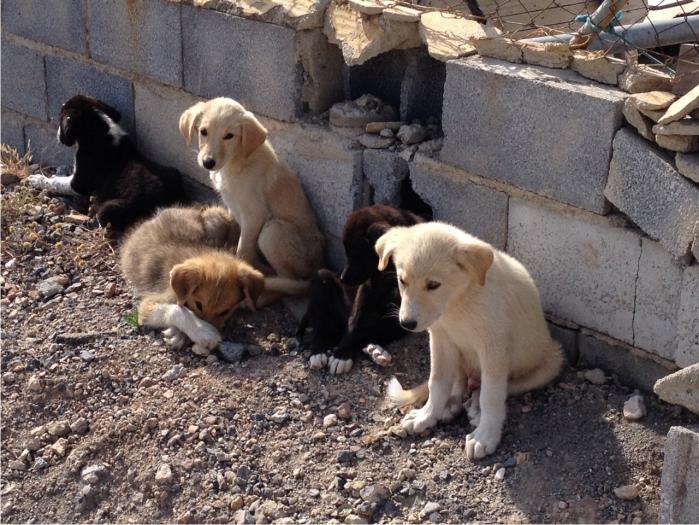 Camada de cinco perros aparecida en un secarral de Campohermoso el sábado 6 de junio de 2015.