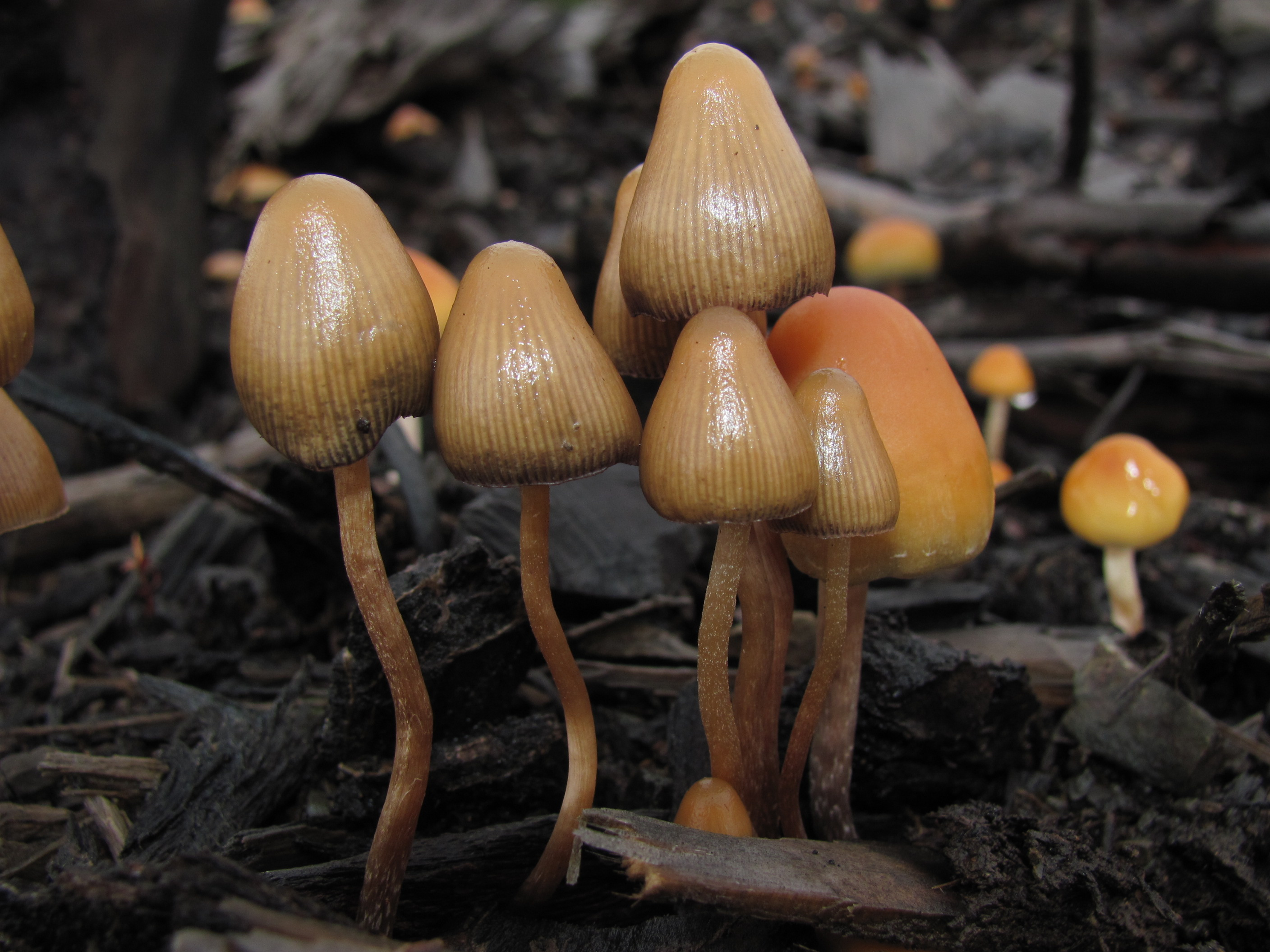 Psilocybe species include P. baeocystis (left) and P. pelliculosa (right). Fotografía: Mushroom Observer (CC)