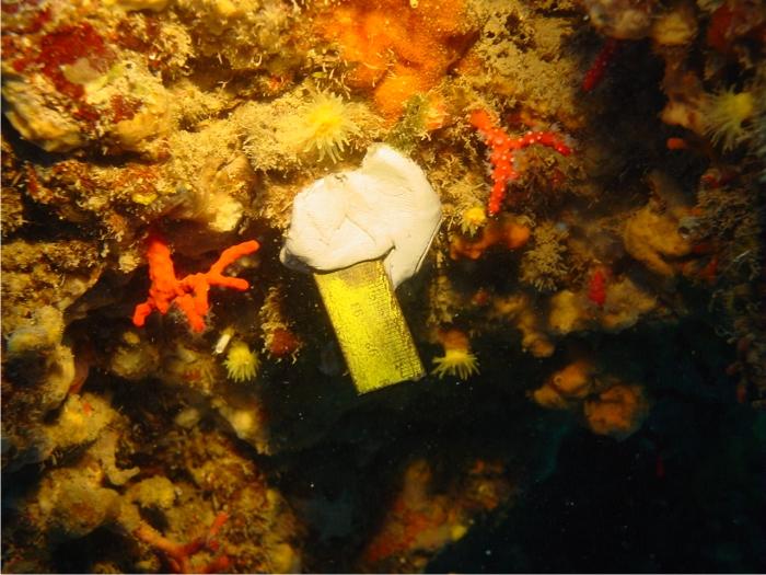 La realidad del coral en nuestras costas: muy pequeño, en el límite de su capacidad para recuperar las poblaciones. Foto: Sergio Rossi.