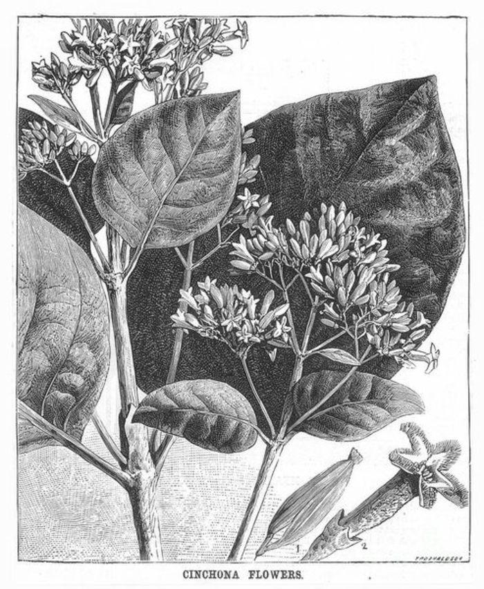 Flor del árbol de la quina en un grabado de 1878. Imagen: DP.