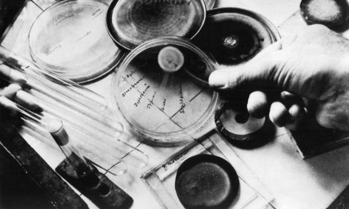 Preparing penicillin cultures.