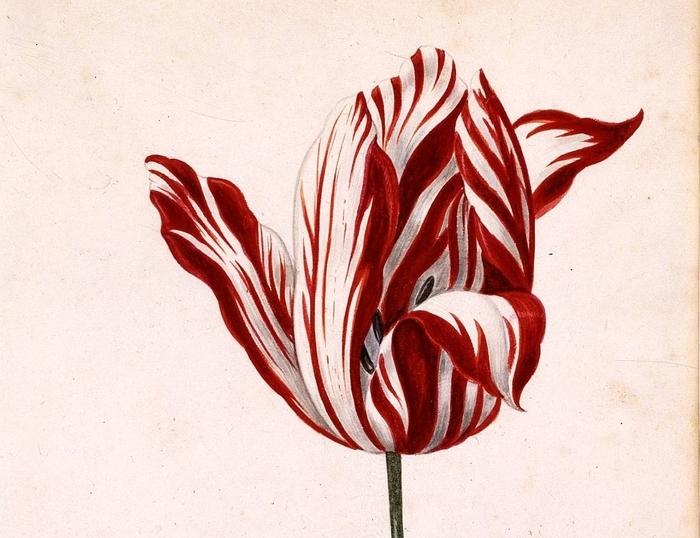 Anonymous acuarela del siglo 17 de la Semper Augusto, famoso por ser el tulipán más caro vendido durante manía de los tulipanes