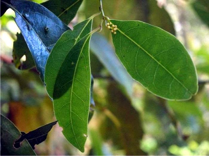 Detalle de las hojas del til (Ocotea foetens). (CC)