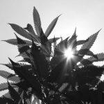 El mito del cannabis medicinal