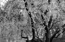 Temporada de cerezas
