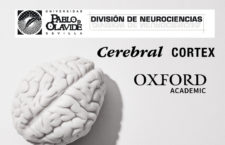 Estudio realizado por la División de Neurociencias Universidad Pablo de Olavide y publicado en la revista Cerebral Cortex, Oxford Academic.
