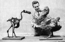 Un esqueleto y una reproducción del dodo en el Museo Nacional de Gales, 1938. Fotografía: Getty.
