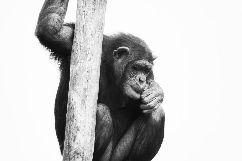 Un chimpancé en cautividad
